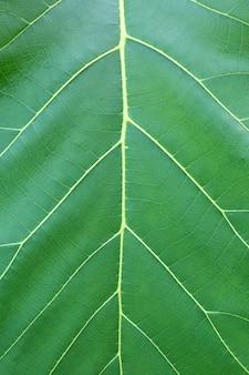 Zamyka w górę zielonego tekowego liścia tekstury tła.