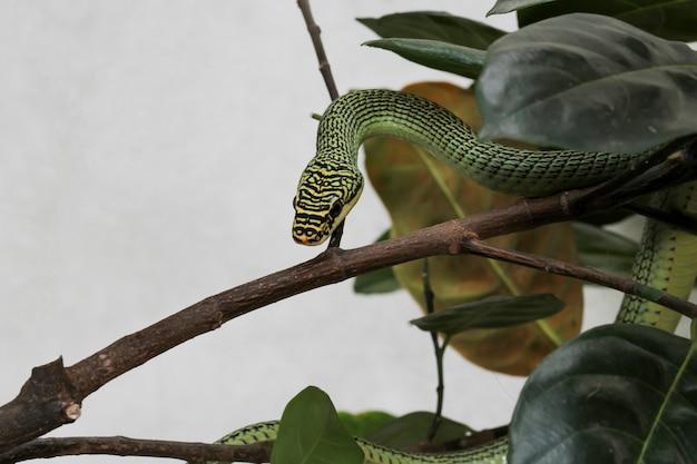 Zamyka w górę zielonego węża lub chrysopelea ornata na drzewie