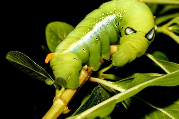 Zamyka w górę zielonej dżdżownicy lub daphnis neri dżdżownicy na kija drzewie w naturze i środowisku