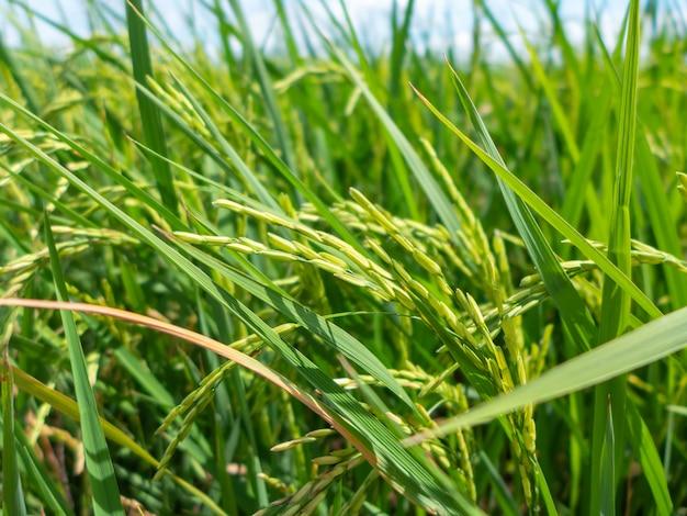 Zamyka w górę zielonych ryżowych ziaren w ryżowym polu