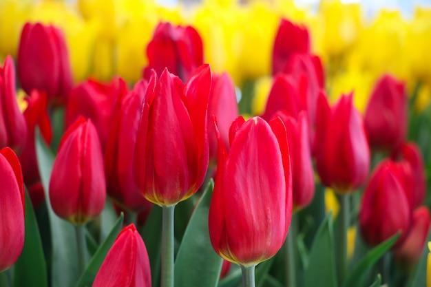 Zamykający w górę pięknych tulipanów koloru żółtego i czerwonego koloru kontrastuje w ogrodowym krajobrazowym tle