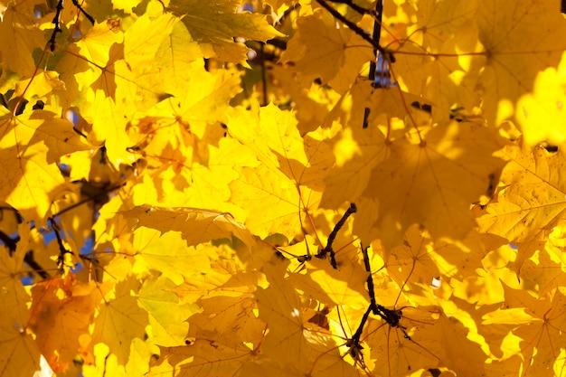 Zanikające żółte liście klonu w opadaniu liści, zbliżenie w naturze