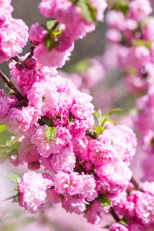 Zapach i zapach. wiosna. czułość. gałąź sakkury. koncepcja perfumerii. kwiaty sakury. sakura kwiaty na tła zakończeniu up. kwiatowe tło. koncepcja ogrodu botanicznego. rozkwit przetargu