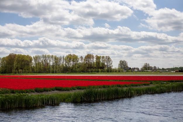 Zapierająca dech w piersiach sceneria pola pełnego hipnotyzujących tulipanów w holandii