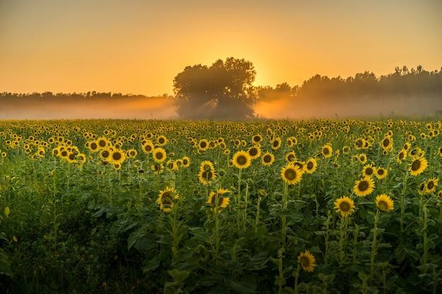 Zapierający dech w piersiach widok na pole pełne słoneczników i drzew
