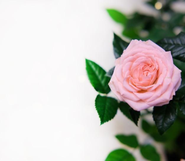 Zaproszenie z różowych róż, bukiet kwiatów, bokeh. valentine's day greeting card