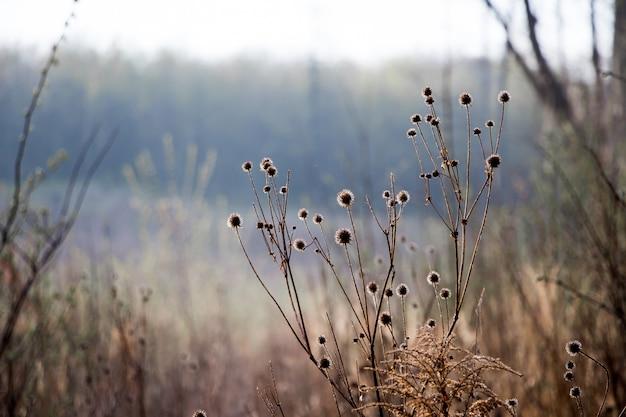 Zarośla starego suchego ostu na skraju lasu