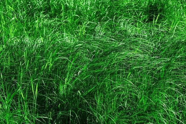 Zarośla traw bagiennych, zielone naturalne częściowo rozmyte tło