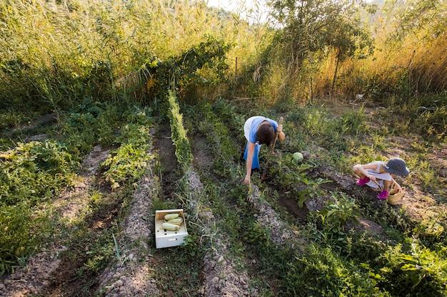 Zasięrzutny widok matka i jej córka zbiera warzywa w polu