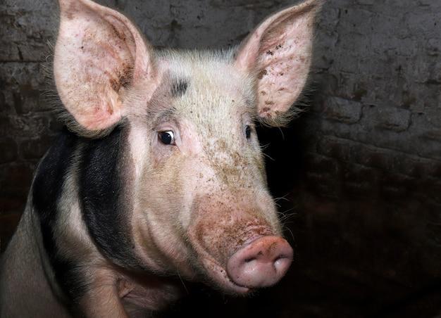 Zaskoczona biała świnia z czarnymi plamami patrzy w kamerę ze zdziwieniem