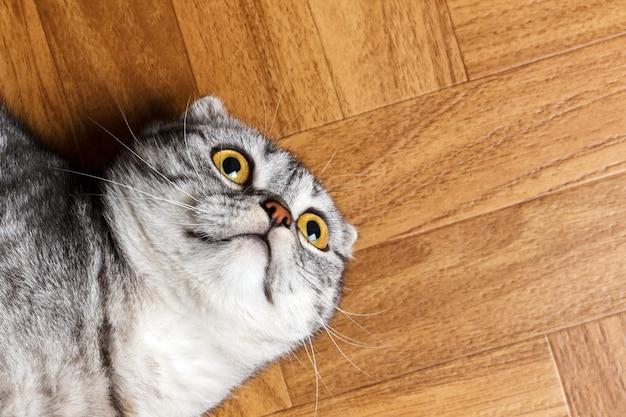 Zaskoczony kot leżący na podłodze, z bliska.