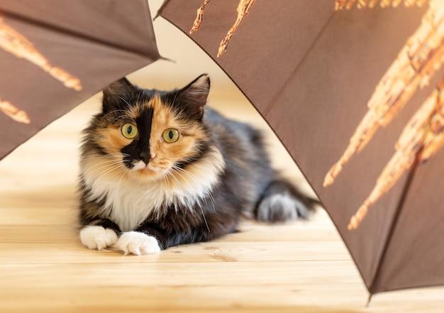 Zaskoczony młody puszysty trójkolorowy pomarańczowo-czarno-biały kot leży wśród brązowych parasoli na drewnianej podłodze. ulubione zwierzaki.