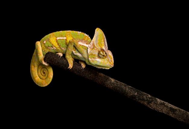 Zasłonięty kameleon na czarnym tle