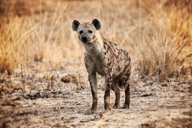 Zauważona hiena patrzy na kamerę