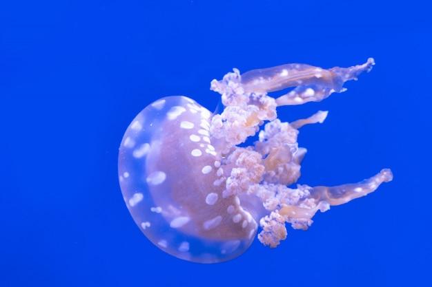 Zauważył meduzy laguny. mastigias papua. spektakularne meduzy.