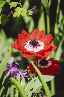 Zawilec makowy w ogrodzie botanicznym vandusen pod słońcem w vancouver, kanada