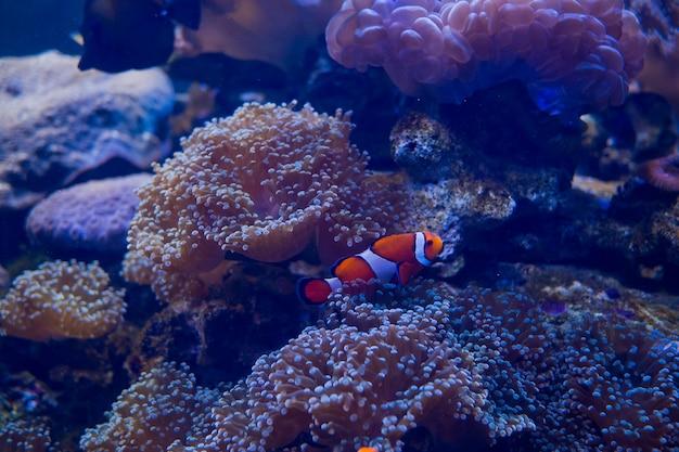 Zawilec morski z rybami klaunów