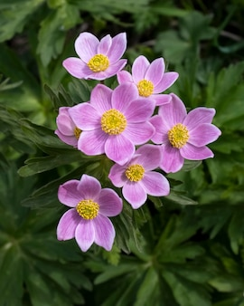 Zawilec to dziki pierwiosnek górski pierwsze wiosenne kwiaty