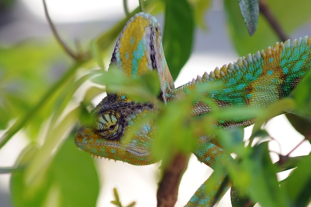 Zawoalowany kameleon między liśćmi w kamuflażu