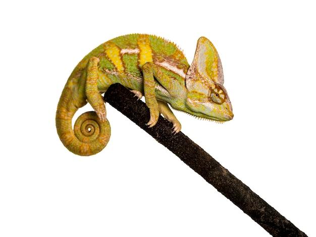 Zawoalowany kameleon na gałęzi na białym tle