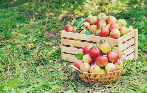 Zbiera jabłka w pudełku na drzewie w ogródzie
