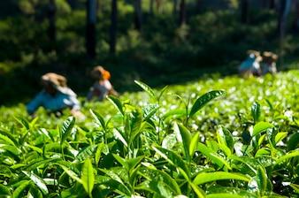 Zbieracze herbaty pracujący w Kerela w Indiach.