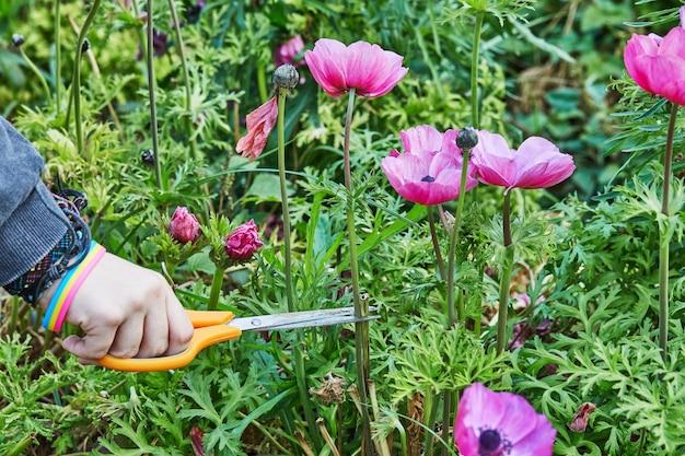 Zbieranie fioletowych kwiatów nożyczkami ogrodniczymi