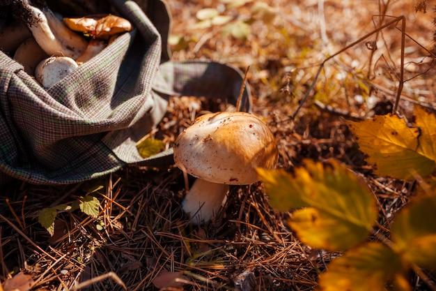 Zbieranie grzybów porcini w lesie jesienią. sezon zbierania grzybów