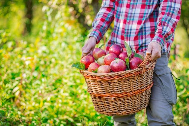 Zbieranie jabłek. mężczyzna z pełnym koszem czerwonych jabłek w ogrodzie.