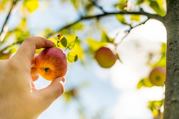 Zbieranie jabłek. ręka rolnika wybiera dojrzałe jabłko łagodne z drzewa.