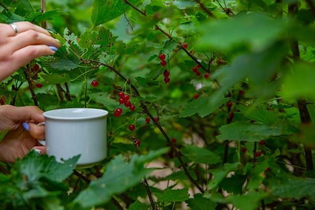 Zbieranie jagód podczas zbiorów w ogrodzie lato zdrowe odżywianie organiczne słodkie owoce przy zbiorze