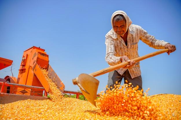 Zbieranie kukurydzy na polu, indyjski rolnik / pracownik filtrujący kukurydzę w przyczepie ciągnika po zbiorach