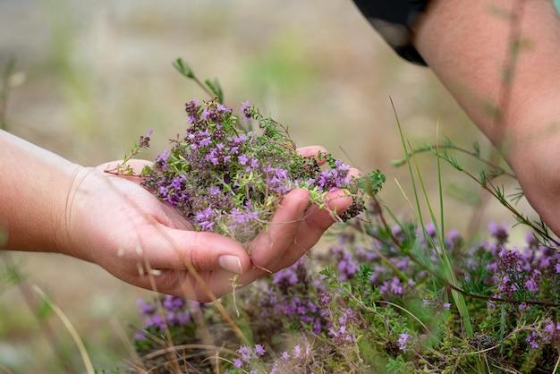 Zbieranie kwiatów dzikiego tymianku na zewnątrz.