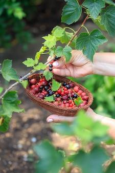 Zbieranie letnich jagód. zbieranie jagód w wiklinowym koszu. odmiana letnich jagód, agrestu, porzeczek.