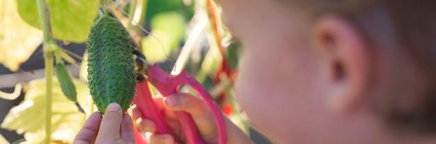 Zbieranie ogórków jesienią. ogórek w rękach małego chłopca zbierającego nożyczkami
