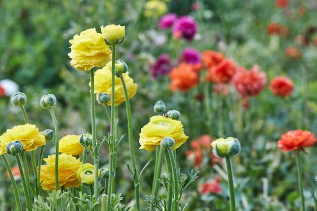 Zbieranie pięknych kolorowych kwiatów na farmie w szklarni.