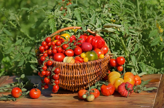 Zbieranie świeżych pomidorów organicznych w ogrodzie