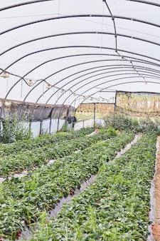 Zbieranie świeżych truskawek na farmie w szklarni z grządkami to zabawa dla całej rodziny.