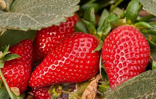 Zbieranie świeżych truskawek w gospodarstwie, zamknij się świeżych truskawek organicznych rosnących na winorośli.