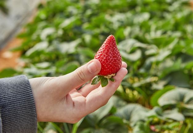 Zbieranie świeżych truskawek w gospodarstwie, zbliżenie dłoni dziecka trzymającego świeże truskawki ekologiczne.