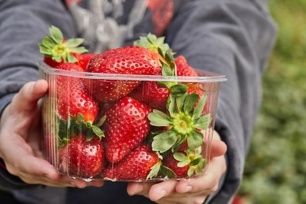 Zbieranie świeżych truskawek w gospodarstwie, zbliżenie dłoni nastolatka trzymającego świeże organiczne truskawki w pudełku.