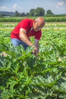 Zbieranie świeżych warzyw
