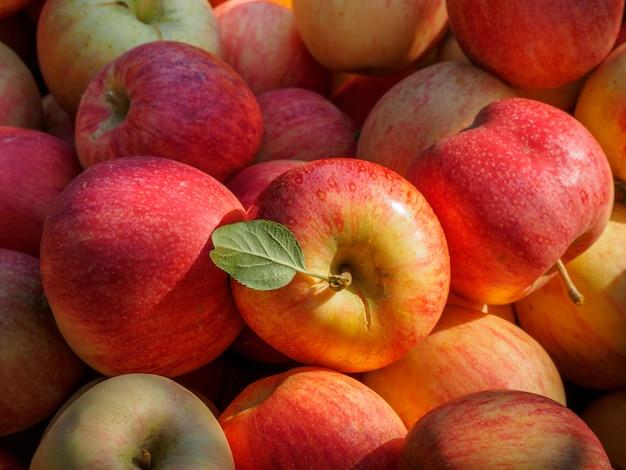 Zbiór czerwonych jabłek na wsi