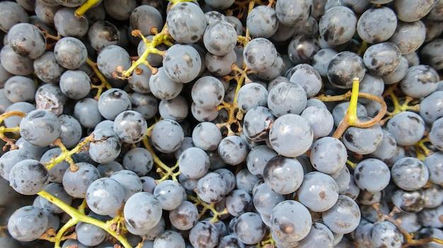 Zbiór dojrzałych winogron. tło winogron czerwone wino. świeżo zebrane czarne, niebieskie lub czerwone ciemne winogrona. zdrowe owoce. kiście winogron, gotowe do spożycia. jagody tekstury jako tło. rodzaj winogron.