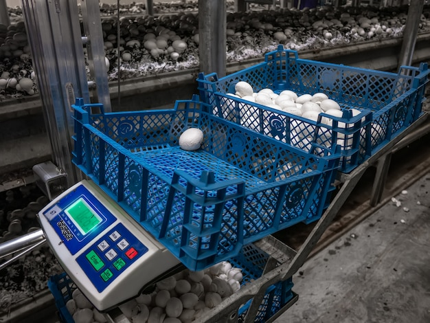 Zbiór grzybów. uprawa grzybów w fabryce