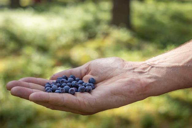 Zbiór jagód leśnych w słoneczny letni dzień, ręka człowieka trzymająca borówkę, zdrowe jagody przeciwutleniające, tło zielonego lasu