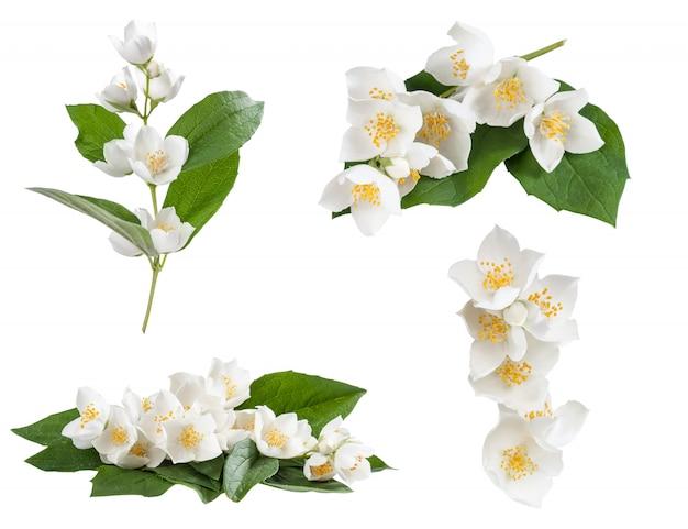 Zbiór kwiatów jaśminu na białym tle