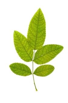 Zbiór liści na białym tle