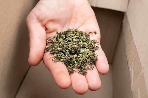 Zbiór nasion marihuany leczniczej ręcznie z nasionami konopi
