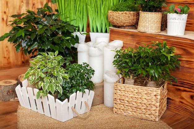 Zbiór różnych roślin domowych w różnych doniczkach. rośliny doniczkowe w domu. rośliny doniczkowe na drewnianej podłodze. układ wiklinowe doniczki z roślinami zielonymi. ficus benjamina, naturalny styl rustykalny